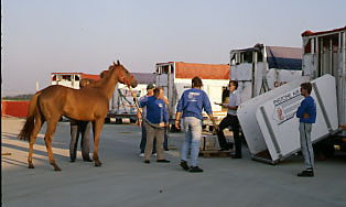 horse into stall on tarmac
