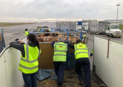 Dairy cows loading into livestock pen