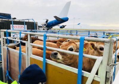 Dairy cows loading for Dubai
