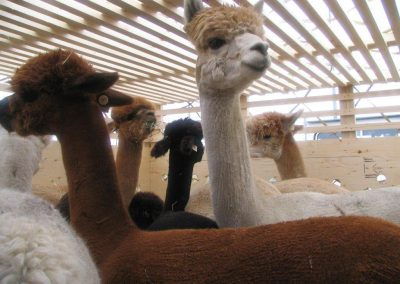 Alpacas Ready To Fly in Bespoke Crates