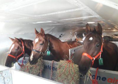 Endurance horses fly to Bahrain